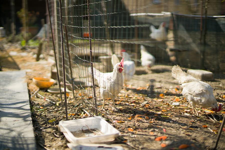 Protetto: Sassi, polli e mollette